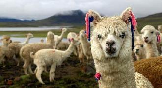 Puno: Productores de alpaca no sienten el apoyo del gobierno nacional y subnacionales